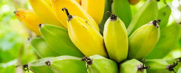 Ripe And Unripe Bananas Have Different Health Benefits