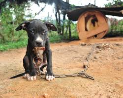 michael vick dog. how the michael vick case brought us closer to ending dog fighting | huffpost s