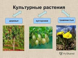 Доклад на тему о культурных растениях России Популярно о здоровье Реферат о культурном растении