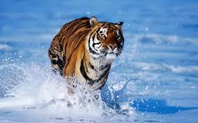 tiger wallpaper high resolution. Brilliant Resolution Animal Wallpaper Lion Tiger Wallpapers High Resolution All Intended A