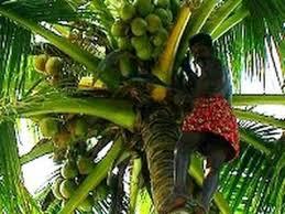 coconut tree alappuzha kerala
