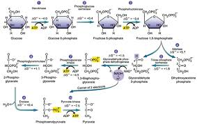 Glycolysis Flow Chart Glycolysis Explained In 10 Easy Steps With Diagrams