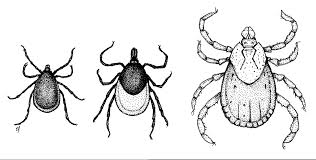 Tick Identification Chart Biology And Management Of Ticks In New Hampshire Fact Sheet
