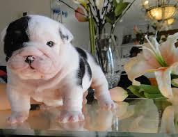 black white akc bulldog puppies