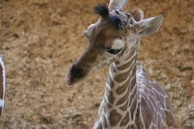 Image of: Koala April The Giraffes Baby Name Tajiri Parents Magazine April The Giraffes Baby Name Has Been Revealedand We Love It
