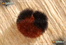 Black Caterpillar Identification Chart Banded Woollybear Caterpillar Moth