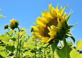6000 Kostenlose Sonnenblumen Und Sonnenblume Bilder Pixabay