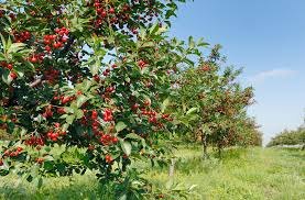 Cherry  DrTohid Nooralvandi  Pulse  LinkedInCherry Fruit Tree Care