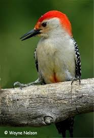 aka bird nerd  red bellied woodpecker wayne nelson