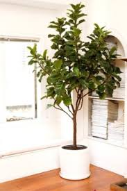 These Easy Indoor Plants Add Green Beauty To Your Home  Ficus Indoor Fruit Trees Low Light