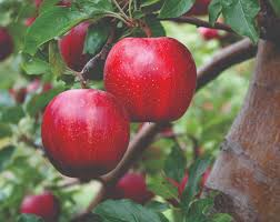 Apples C O Nursery