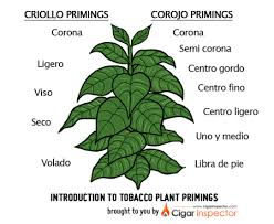 tobacco plant clipart. Plain Tobacco Jpg Free Stock Primings Chart Parts Of The Cigar Tips Clipart Transparent  Library Tobacco Plant  In Plant Clipart N