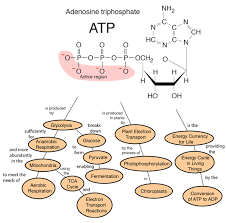 for aerobic respiration the glycolysis is also a source of atp but the more ive process in the tiny energy factories called mitochondria plays a