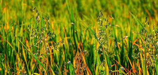 Identifying Johnson Grass And Worrying About Prussic Acid Texas
