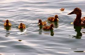 A duck and ducklings <b>swim</b> during <b>hot summer</b> weather on Lake ...