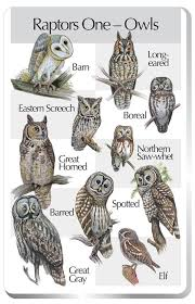 Owl Types Handy Little Poster For Identifying Northern