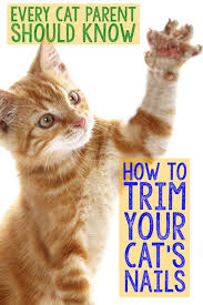 all cats especially indoor kitties should have their claws cut regularly to avoid injury t your cat s nails for the first time can be a little