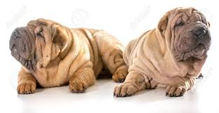 Two Chinese Shar Pei Puppies Isolated ...
