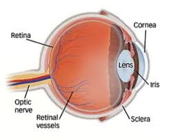 macular degeneration is a deterioration or breakdown of the macula the macula is a small area in the retina at the back of the eye that allows you to see