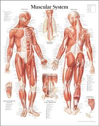 Best 25+ Human muscular system ideas on Pinterest