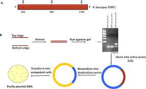 Knockdown Factor Chart Lentiviral Knockdown Of Transcription Factor Stat1 In