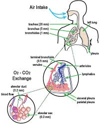 Respiratory System Flow Chart 4 Schematic Diagram Of The Human Respiratory System Showing