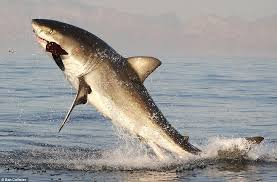 great white shark jumping for seal. Interesting Seal Success Coming Up From Underneath The Waves Giant Fish Literally  Launch Themselves Out And Great White Shark Jumping For Seal R