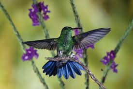 Do Hummingbirds Have Sex In Midair Howstuffworks