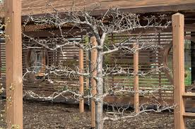 Columnar Fruit Trees Ideal For Growing In Tubs On Patios Or Growing Cordon Fruit Trees