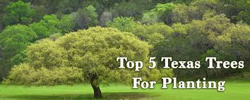 top 5 texas trees for planting