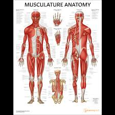 Laminated Anatomical Charts Musculature Anatomy Chart Poster Laminated