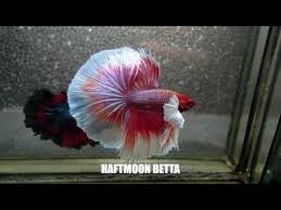 Betta Fish Chart Most Beautiful Types Of Betta Fish Betta Fish Names Youtube