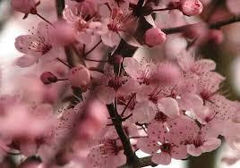 How To Prune Plum Trees  GardenFocusedcoukPlum Tree Flowers But No Fruit