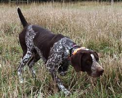 german shorthair dogs outback