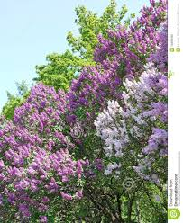 Lilacs In Landscape Design Bushes Of Purple And White Lilac In The Botanical Garden