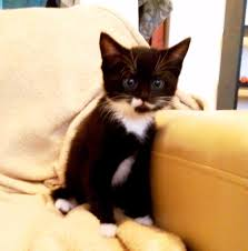 black and white kittens for sale. Fine Black Kitten For Sale Black Male Cat With White Paws Neck Mouth Adoption  Derby City Centre Throughout And Kittens K