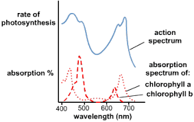 Action Spectrum 5 Differences Between Absorption Spectrum And Action