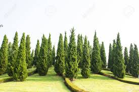 pine tree garden with blue sky stock photo 23398288