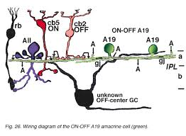 roles of amacrine cells by helga kolb webvision wiring diagram of the on off a19 amacrine cell