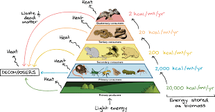 food web pyramid food chains food webs article ecology khan academy