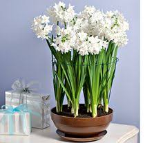 Paper White Flower Bulb 54 Best Paperwhite Narcissus Narcissus Papyraceus Images