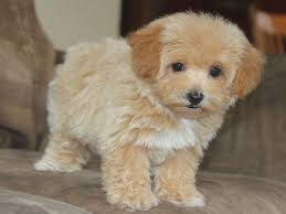 top 20 most cutest poodle mix breeds that you need to know dog breeds crossed
