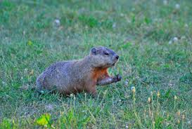 getting rid of groundhogs mothballs. Delighful Groundhogs Dogroundhogshibernatejpg In Getting Rid Of Groundhogs Mothballs H