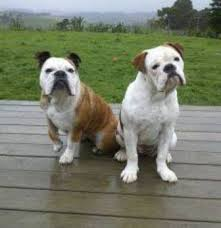 view the full image australian bulldog jpg