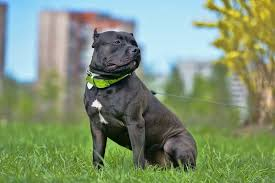 9 Things You Should Know About The American Bully Animalso