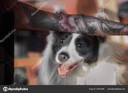 Legrační Border Kolie Pes Dá Tlapy Na Straně S Tetování Stock