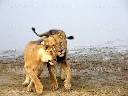 lioness and lion cuddle. Contemporary And Lion And Lioness Cuddle On Lioness And Lion Cuddle