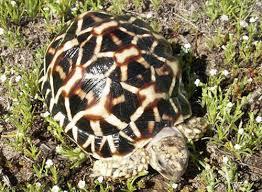 Indian Star Tortoise Diet Chart Indian Star Tortoise Care Sheet