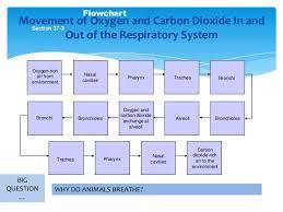 Respiratory System Flow Chart Respiratory System