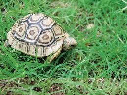 Leopard Tortoise Size Chart Leopard Tortoise Care And Breeding Tips